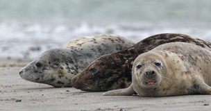 Grey Seals (Halichoerus grypus) Stock Photos