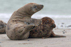 Grey Seals (Halichoerus grypus). On the beach on Heligoland Royalty Free Stock Photos