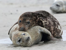 Grey Seals (Halichoerus grypus). On the beach on Heligoland Royalty Free Stock Photo