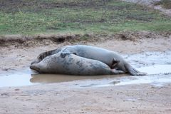 Grey Seals Mating. The grey seal Halichoerus grypus, meaning `hooked-nosed sea pig` part of the Phocidae family, mating stock photography
