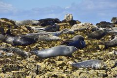 Grey Seals på de Farne öarna, Northumberland Royaltyfri Fotografi