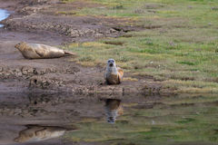 Grey Seals Royalty Free Stock Photos