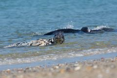 Grey seals playing in the sea near German island Helgoland Royalty Free Stock Images
