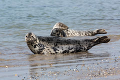 Grey seals resting at the beach of German island Helgoland Royalty Free Stock Photo