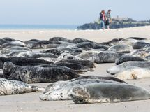 Grey seals resting at the beach of German island Helgoland. With walking people at the background royalty free stock photography