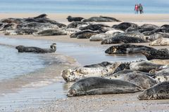 Grey seals resting at the beach of German island Helgoland. With walking people at the background royalty free stock photo