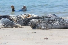 Grey seals resting at the beach of German island Helgoland. Grey seals resting at the beach of Helgoland, Germany royalty free stock photos