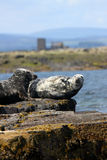 Grey Seals Royalty Free Stock Images