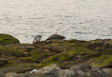 Grey Seals Stock Photography