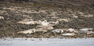 Grey Seals on Staffin Island off Skye. Stock Images