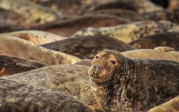 Grey Seals sur la plage chevaline de Gap, Norfolk photos stock