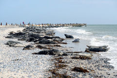 Grey Seals Royalty Free Stock Image