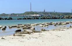 Grey Seals Stock Image