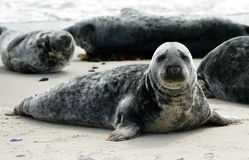 Grey Seals Stock Photos