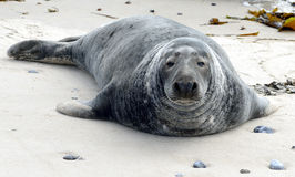 Grey Seals Royalty Free Stock Photography