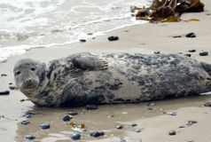 Grey Seals Stock Images