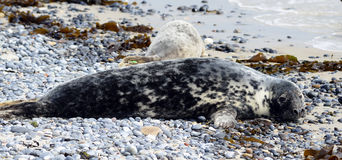 Grey Seals Stock Image
