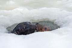 Grey seals Royalty Free Stock Photo