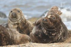 Grey Seals & x28; Halichoerus grypus& x29; koppla av på en strand i pålle Royaltyfri Fotografi