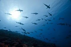 Grey shark Carcharhinus Amblyrhinchos. School of reef grey shark Carcharhinus Amblyrhinchos in deep blue of pacific ocean stock images