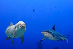 Grey shark and dolphin underwater. Dolphin underwater with grey shark arttack on ocean background looking at you Stock Image