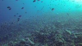 Grey shark and fish underwater stock video footage