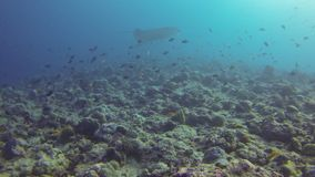 Grey shark and fish underwater stock footage