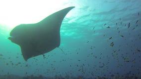 Grey shark and fish underwater stock video