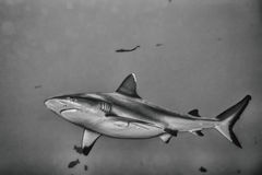 Grey shark jaws ready to attack in b&w Royalty Free Stock Photography