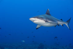 A grey shark jaws ready to attack underwater close up portrait Stock Image