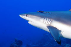 A grey shark jaws ready to attack underwater close up portrait Royalty Free Stock Photography