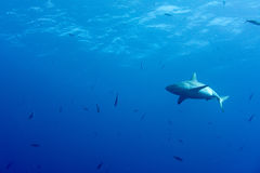 Grey shark ready to attack underwater in the blue Stock Image