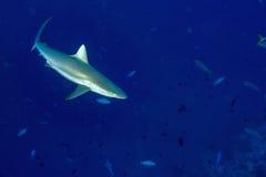Grey shark ready to attack underwater Stock Photos