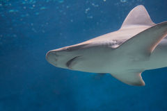 Grey shark swimming in blue waters Stock Photo