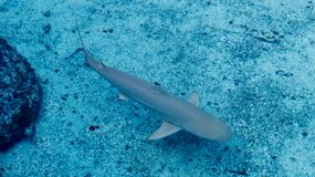 Grey shark swimming slowly close to the sand. In the warm shallow water of the Bahamas royalty free stock images