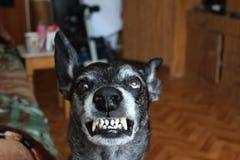Grey sheepdog Royalty Free Stock Photo
