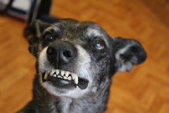 Grey sheepdog Stock Photography