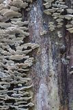 Grey shelf mushroom fungi growing up an old rotting tree trunk. Vertical aspect Royalty Free Stock Photography