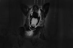 Grey shepherd dog yawns Stock Photo