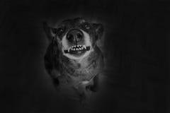 Grey shepherd grins Stock Photography