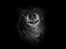Grey shepherd grins Royalty Free Stock Photo