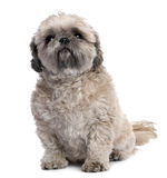 Grey Shih Tzu (6 years old) Royalty Free Stock Photography