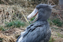 Grey Shoebill Bird Stockfoto