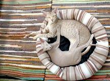 Grey Short Fur Cat Stock Photo