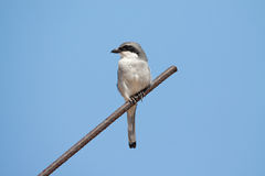 Grey Shrike del sud Fotografie Stock