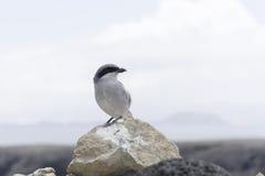 Grey Shrike - Lanzarote Foto de Stock