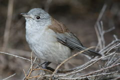 Grey Shrike-Thrush (Colluricincla Harmonica) Stock Photography