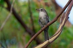 Grey Shrike-thrush - Colluricincla harmonica. The grey shrikethrush or grey shrike-thrush Colluricincla harmonica. Formerly commonly known as grey thrush royalty free stock photos