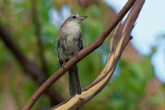 Grey Shrike-thrush - Colluricincla harmonica. The grey shrikethrush or grey shrike-thrush Colluricincla harmonica. Formerly commonly known as grey thrush stock photography