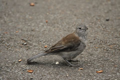 Grey Shrike-thrush (Colluricincla harmonica) Royalty Free Stock Image